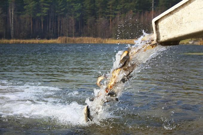 В мае сладковские рыбоводы начали плановое зарыбление местных озер пелядью