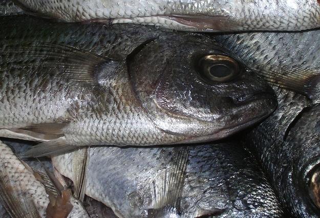 Сладковские рыбоводы выловили неменее 350 тонн пеляди