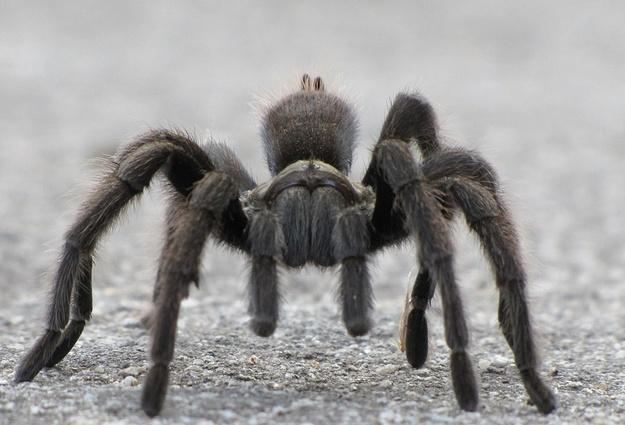 Заползают вподвалы инаучастки: вТюменской области стало больше тарантулов