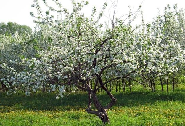 ВТюмени 2-ой раз загод зацвели деревья