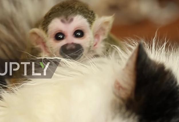 Трогательная история «усыновления»: кошка приняла брошенного детёныша обезьяны