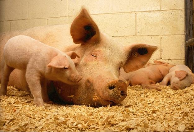 Первую очередь свинокомплекса вТюменской области сдадут летом