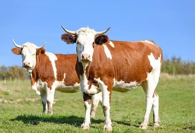 Молочное хозяйство Тюменской области приспосабливается кизменениям