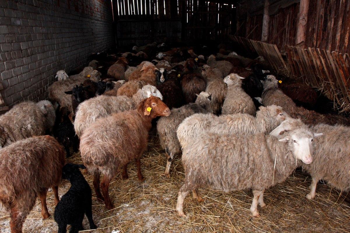 Как развести овцы в домашних условиях 911