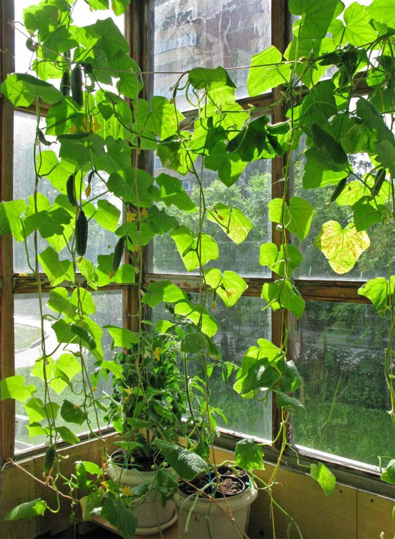 Специальные сорта огурцов, которые можно выращивать прямо на.