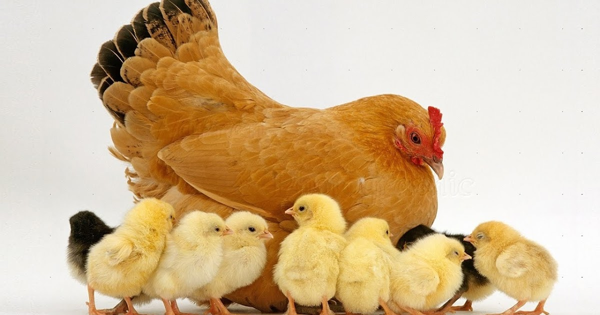Картинка курица с цыплятами, первоклассника анимация картинки
